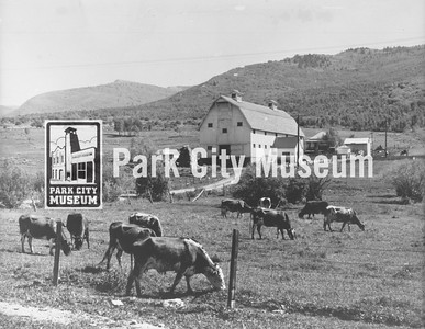 Cows grazing at the McPolin homestead, c.1930s (Image: 1996-36-1, Layne McPolin Collection)