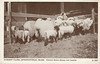 Graves A222 Oxford Sheep