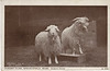 Graves A154 Angora Goats