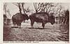 Graves A158 Buffaloes