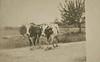 Goshen Oxen Real Photo 2