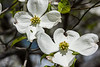 Not my best, but for those who have not seen a dogwood blossom, here is a couple of nice examples.