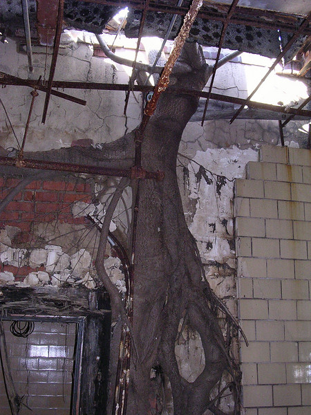 These photos attest to the power of nature. The paulownia tree somehow took root <i>inside</i> this wall. As it grew, it burst the wall and broke through the ceiling and the roof.   4-23-07