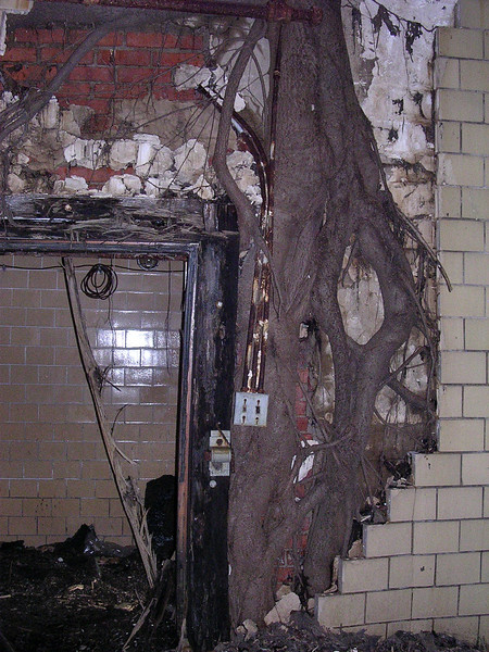 The base of the paulownia tree, showing how the trunk actually grew inside the wall before finally pushing out the wall and smashing it. <br /> <br /> 4-23-07