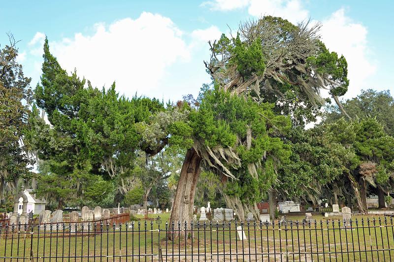 Oak Grove Cemetery Society Endangered Cedar Tree 09-19-19