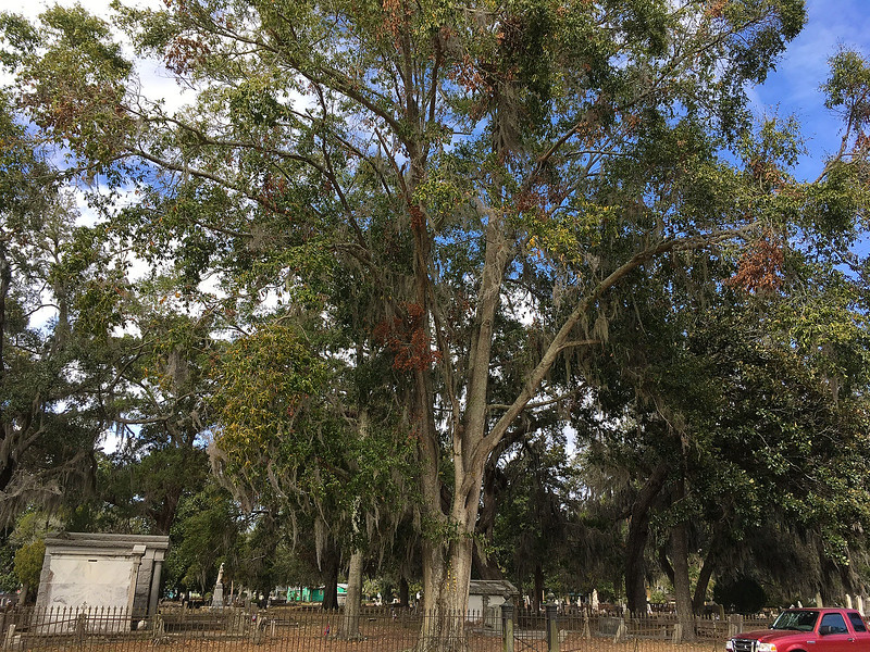 Oak Grove Cemetery in Brunswick, Georgia Before tree is removed 11-12-16