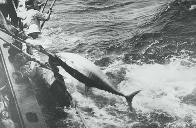 Hooking large tuna with traditional bamboo pole just outside the San Diego Bay.  Courtesy of the Palestini Family.