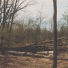 Exciting - trees felled so site preparation could begin to start the construction of Woodlands.  September, 1988.