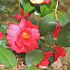 Camelias at Hofwyl-Broadfield Plantation 03-05-11 near Brunswick, Georgia Glynn County