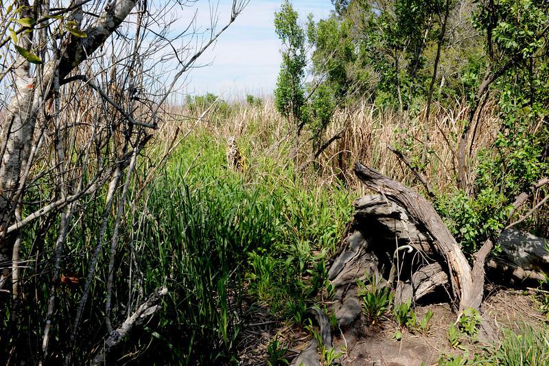 Hofwyl Plantation - Ricefield Dike Path into Ricefield near Tabby Ruins - Rope on Stump