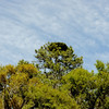 Hofwyl Plantation - Long Leaf Pine with Flat Top near Ricefield
