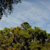 Hofwyl Plantation - Long Leaf Pine with Flat Top near Ricefield