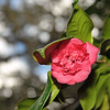 Hofwyl Camellias Program 01-26-20
