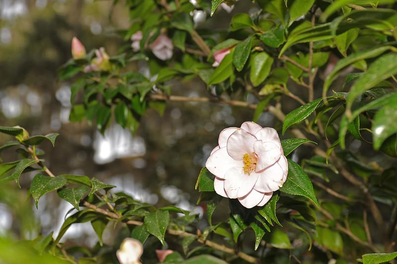 Hofwyl Camellias Program 01-26-20