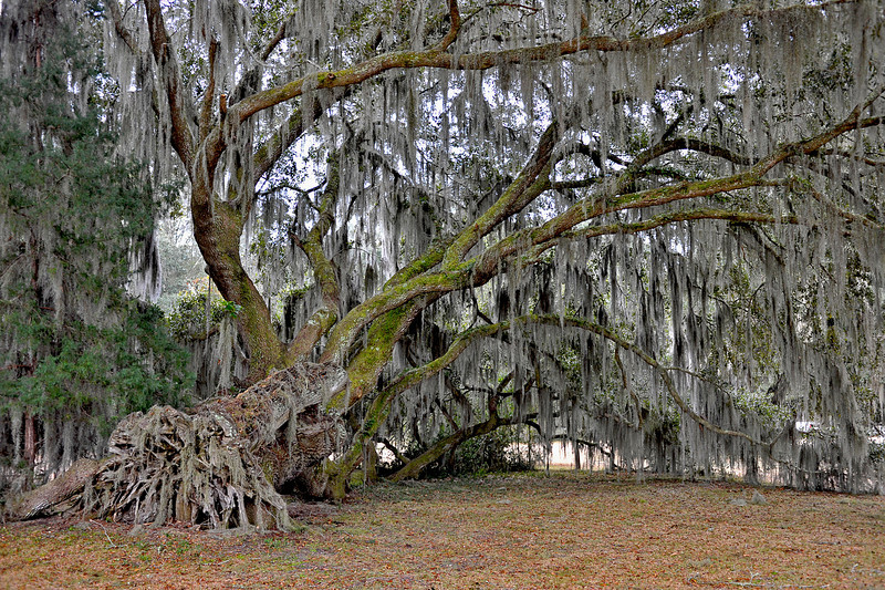 Hofwyl-Broadfield Plantation 02-05-10 - Various Images - Oak tree draped in spanish moss downed in storm over 60 years ago and still living