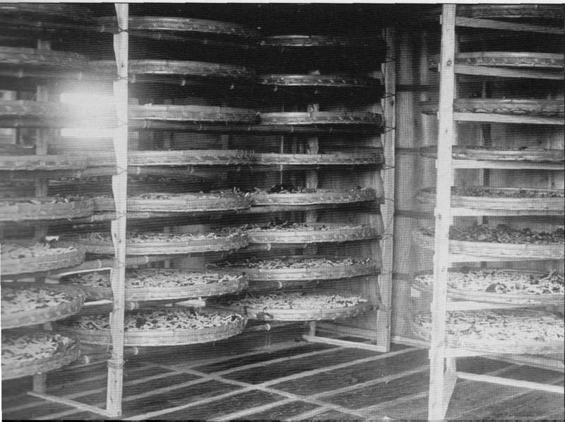 Holyoke Sana Cocoons Drying