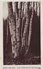 Holyoke Birches
