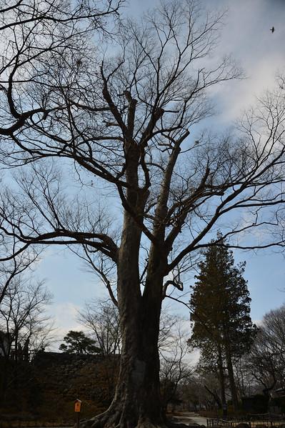 500 year old zelkowa tree