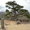 Pine tree on the keep