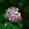 Hydrangea with dark back ground