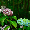 Different colors of hydrangeas