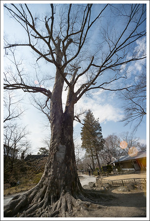 This tree was already here when the castle was built 400 years ago.