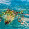 SANTA BARBARA BAY SEAWEED