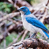 SCRUB or MEXICAN JAY