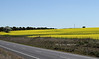 A canola crop alongside the Lachlan Valley Way on the south side of Boorowa.