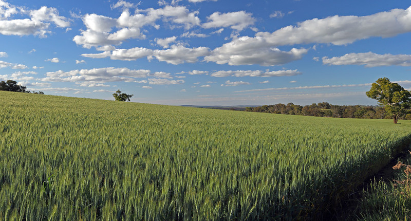 "Boorowa's ""coarse grains"" industry has been a traditional crop for the district for more than a century."