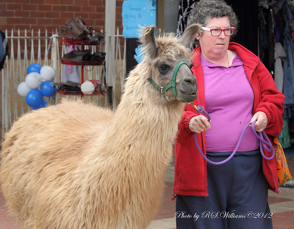 Unusual visitor to Woolfest, led by a proud owner.