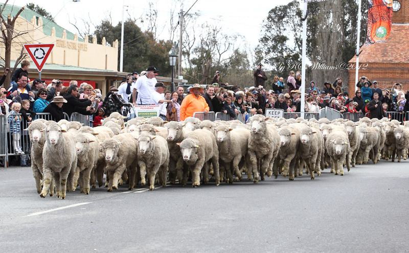 "Highlight of the Irish Woolfest is ""The Running of the Sheep""."