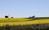 The golden Canola fields which dot the Boorowa landscape in Spring each year are a valuable source of income for the local farming community.