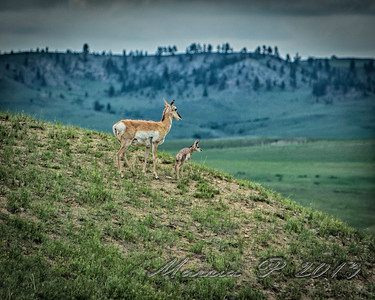 Pronghorn doe and fawn by Weir Point