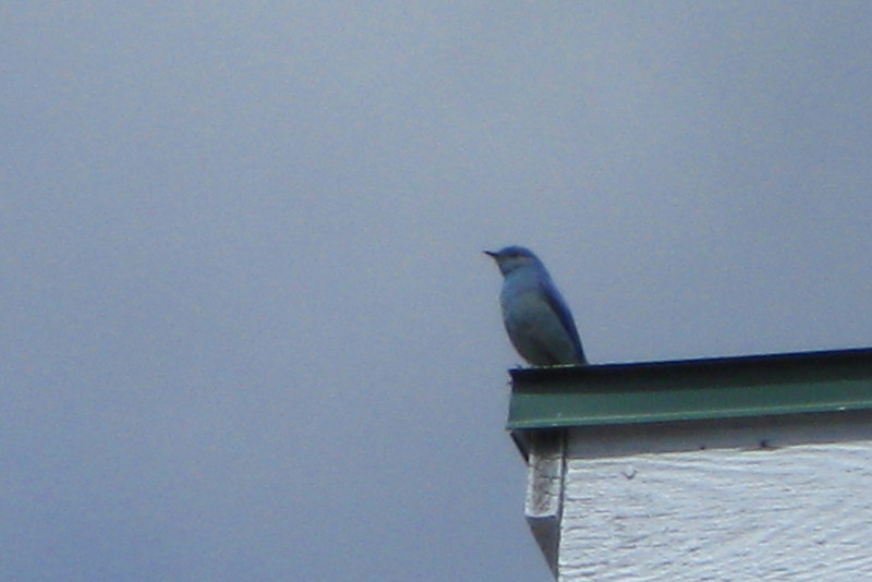 There were a number of these stunning Mountain Bluebirds fluttering around the visitor center...