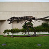 Visitors are greeted by this full-sized Tyronnosaurus Rex , a replica of the skeleton found nearby and recovered here in the museum a few years ago.