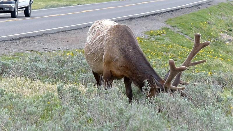Lamar Valley Elk - Yellowstone