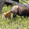 Yellowstone - Bison in the Spring