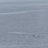 Humback Whale  / single breach / Alaska