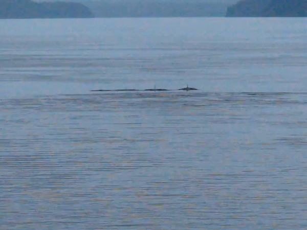 Killer Whale Pod - Alaska