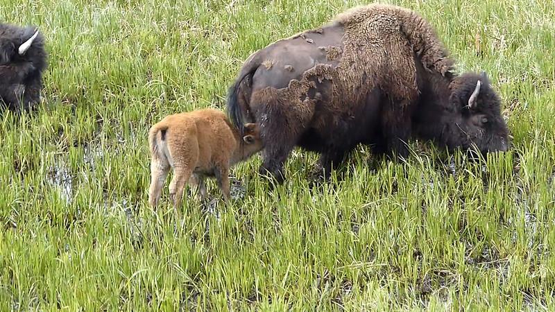 Bison calf feeding on the range...
