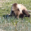 Haines Alaska - young Grizzly eating, resting, swimming, fishing.....
