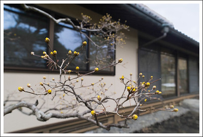 An almost blooming tree in front of a private home.