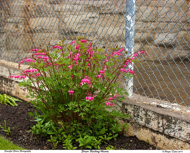 Bleeding Hearts Inside Prison Walls