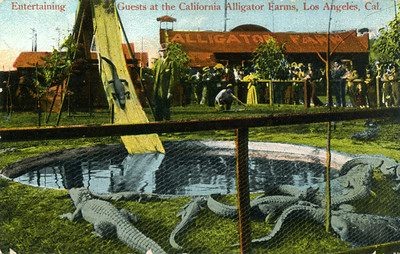 Entertains with Alligators