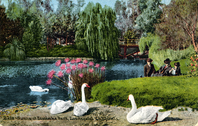 Swans at Eastlake Park