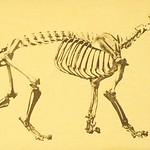 La Brea Lion