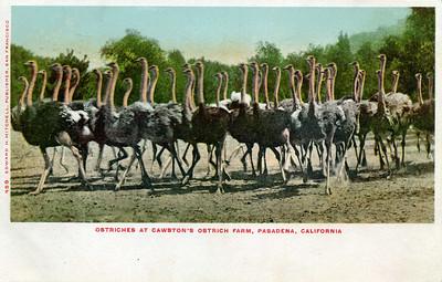 Ostrich Pack