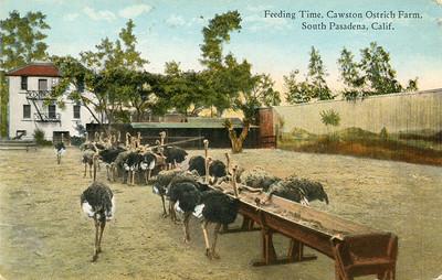 Ostrich Feeding Time