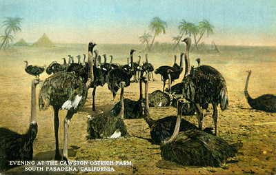 Ostrich Farm Evening